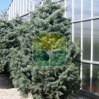 ABIES CONCOLOR GLAUCA