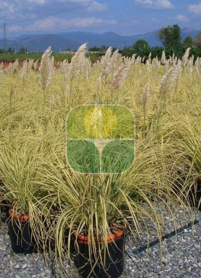 CORTADERIA SELLOANA SPLENDID STAR