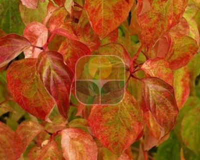 CORNUS SANGUINEA MAGIC FLAME