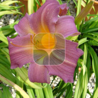 HEMEROCALLIS IN VARIETA