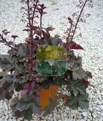 HEUCHERA IN VARIETA