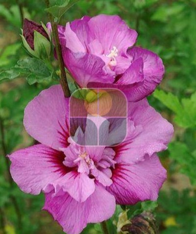 HIBISCUS SYRIACUS ERUPTION