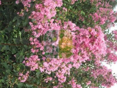 LAGERSTROEMIA INDICA ROSEA GRASSI