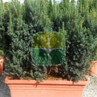TAXUS X MEDIA HILLII